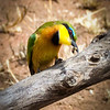 Bee-eater, Serengeti