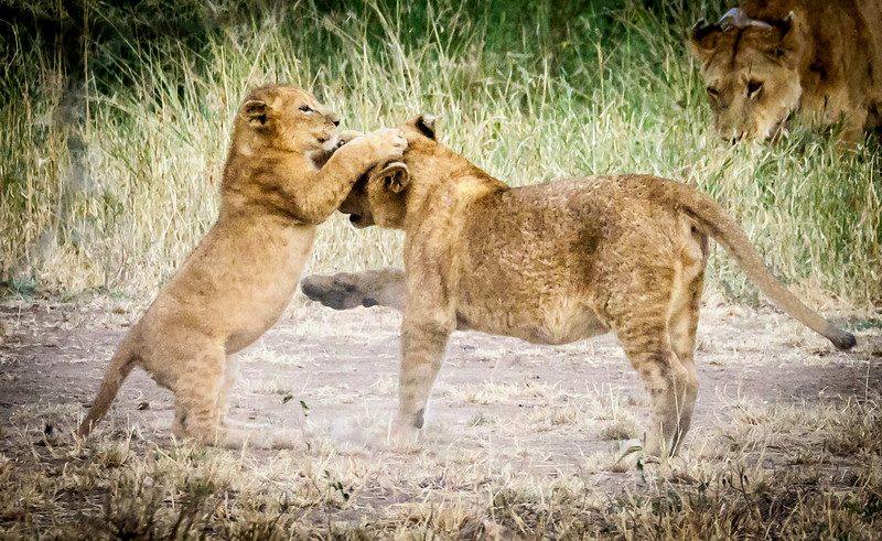 Cubs at play, Serengeti