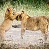 Cubs at play, Serengeti