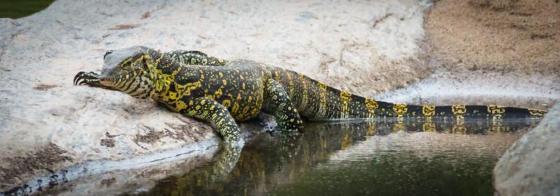 Monitor Lizard, Masai Mara