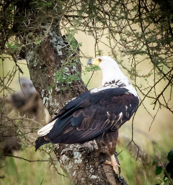 African Fish Eagle,  Serengeti