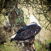 African Fish Eagle,  Serengeti