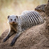 Banded Mongoose, Serengeti