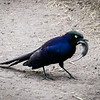 Starling with Mouse, Serengeti