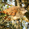 White-browed Coucal, Serengeti