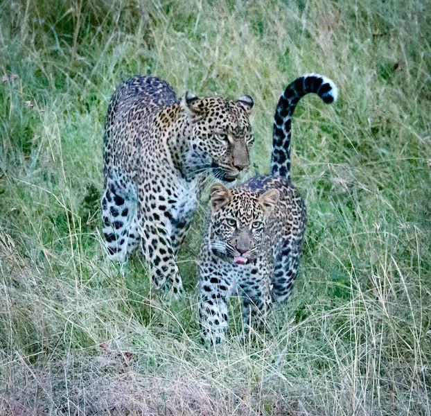 Leopard & cub, Masai Mara