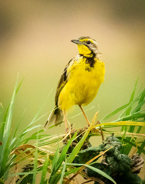Yellow-throated Longclaw, Serengeti