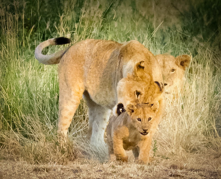 Lion & cub, Serengeti