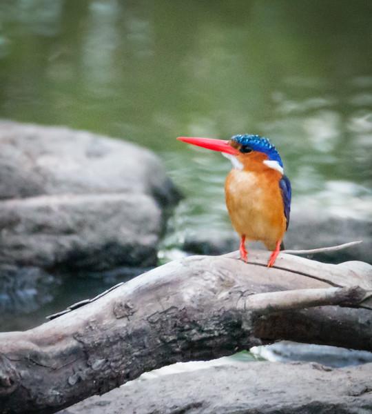 Malachite Kingfisher, Masai Mara