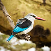 Woodland Kingfisher, Serengeti