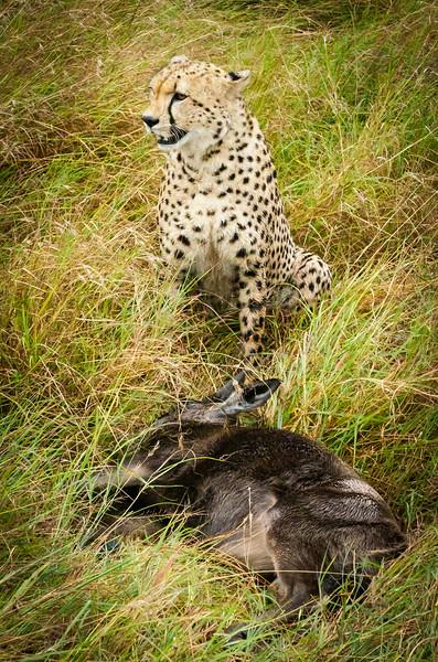 Cheetah and kill, Masai Mara