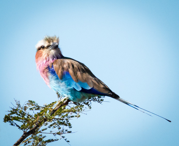 Lilac -breasted Roller, Serengeti