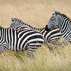 Zebras on the move, Masai Mara