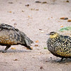 Yellow-throated Sand Grouse, Masai Mara
