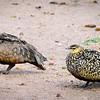 Yellow-throated Sand Grouse, Masai Mara