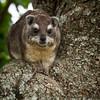 Tree Hyrax, Masai Mara