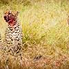 Red Faces, Masai Mara
