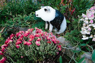 A black and white pig sits amongst flowers.