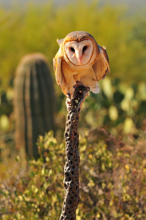 This image was capture by Conor Quinlan during his very first private workshop on 10/31/2008, this is my MOST popular photo on this website. The barn owl was capture at the Desert Museum during a free flight bird show. If you are interested you must sign up between 10/24/12 - 4/10/13, this is just an estimate as the schedule has not been announced yet.