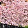 桜 [Sakura - Cherry Blossom]