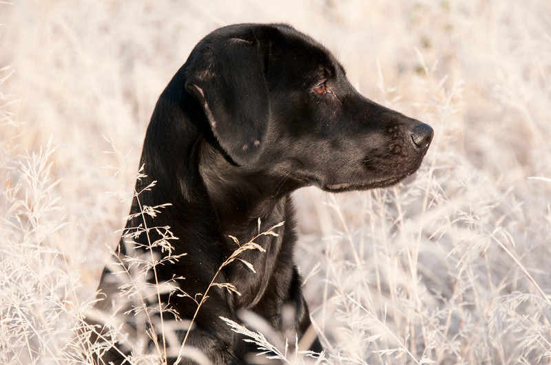 Labrador amoungst frost covered grass