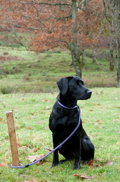 Black labrador on the peg