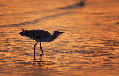 willet type o' sunset.