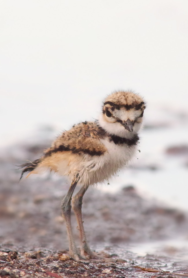 wet n fluffy Killdeer chick ( 4 days old) Matheson Hammock Florida