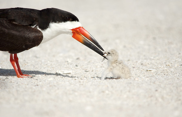 Black Skimmer & Chick Indian Shores, Florida
