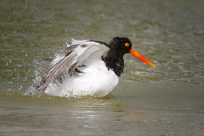 American Oystercatcher cooling off Ft Myers Beach, FL