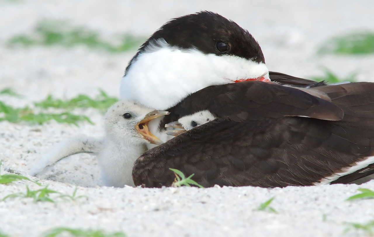 you're hoggin' all the feathers! Black Skimmer nesting colony Redington, FL
