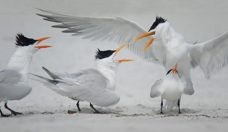 """everyone's a critic"" Royal Terns Indian Shores, FL"
