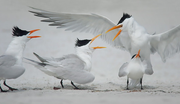 """everyone's a critic"" Royal Terns Indian Shores, FL"