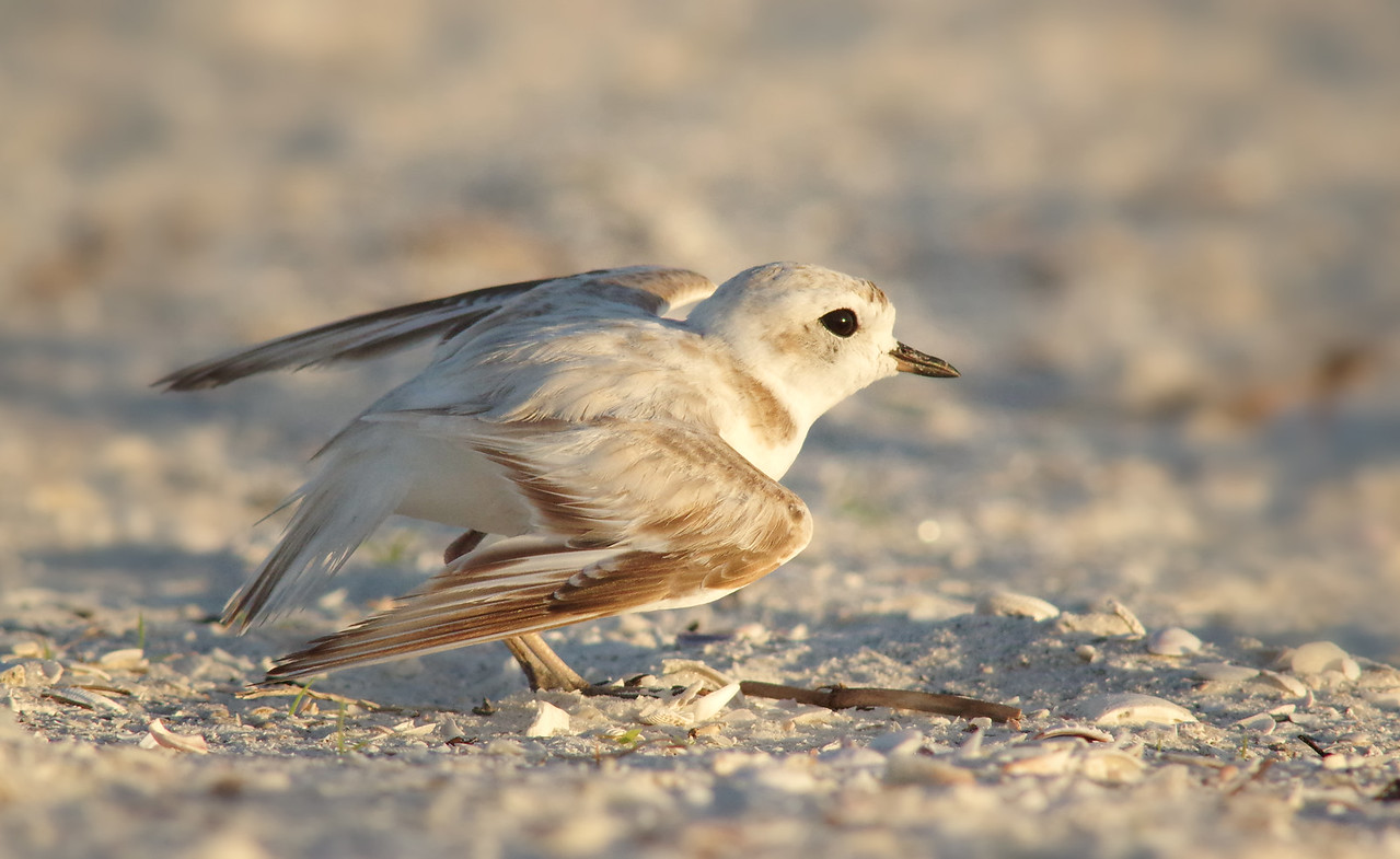 snowy plover w/ broken wing display Ft. Myers Beach, FL