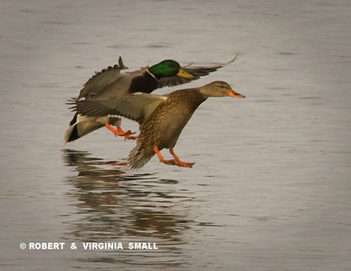 SYNCHRONIZED LANDING BY A MALLARD PAIR
