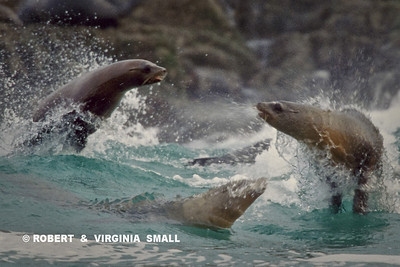 CALIFORNIA SEA LIONS FROLICKING  IN THE SURF