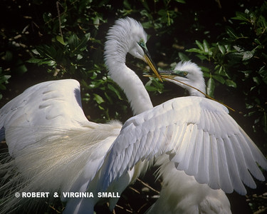 GREAT EGRET PAIR IN COURTING PLUMAGE AND COLOR BUILDING NEST