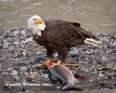 BALD EAGLE WITH COHO SALMON CATCH