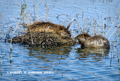 A PAIR OF COYPUS (Introduced scourge of southern waterways)