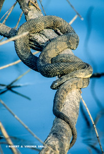 """QUITE A LARGE DIAMONDBACK WATER SNAKE COILED ON A BRANCH.  THIS SNAKE IS IN THE """"BLUE"""" PHASE JUST PRIOR TO SLUFFING ITS SKIN AND IS QUITE BLIND IN THIS CONDITION - THANK HEAVEN!"""