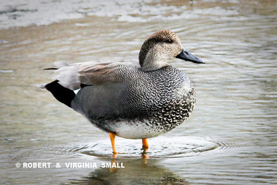 IT APPEARS THIS MAY BE A HYBRID OF THE AMERICAN WIGEON AND A GADWALL . . . ANY THOUGHTS?