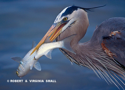 GREAT BLUE HERON WITH MULLET CATCH