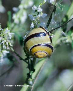 BANDED GROVE (TREE) SNAIL