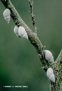 CONICAL TREE SNAILS