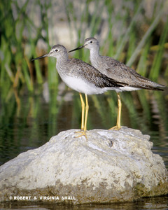 YELLOWLEGS (What else?!)