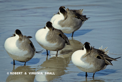 RESTING PINTAILS