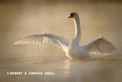 MUTE SWAN IN MISTY MORNING LIGHT