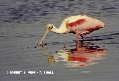 SOLITARY ROSEATE SPOONBILL FORAGING