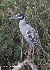 A RATHER REGAL PERCHED YELLOW-CROWNED HERON