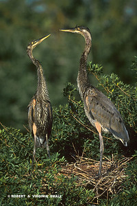 JUVENILE GREAT BLUE HERONS AT THEIR NEST